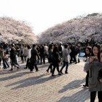 Cherry blossom viewing in Ueno Park, Tokyo